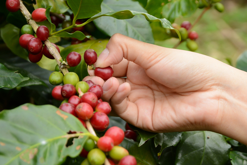Choosing the Best Kona Coffee